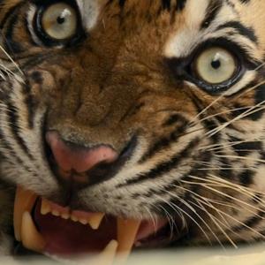 Sumatra's Last Tigers Menangkan Perak Di Festival Film New York