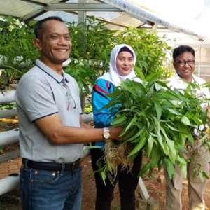 Kepala BKP Kementan Panen Sayuran Di Lahan TTIC