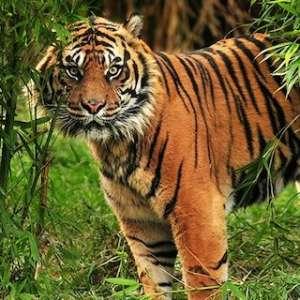 Prihatin Pada Korban, Tomy Winata Minta Agar Harimau Sumatera Tidak Diburu Dan Dibunuh
