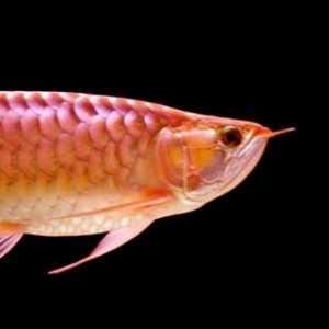 Ikan Arwana Kalimantan Siap Ekspor, Kemenko Marves Targetkan Pengiriman Dilakukan Tiap Pekan