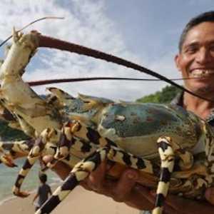 Cerita Nelayan: Saat Ada Peraturan Larangan Ekspor, Harga Jual Lobster Hanya Rp 20 Ribu