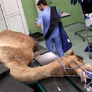 Arab Resmikan Rumah Sakit Khusus Unta Terbesar Di Dunia
