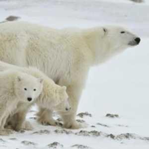 Beruang Kutub Yang Kepanasan Masuki Pemukiman Penduduk, Seorang Warga Belanda Tewas Dimangsa