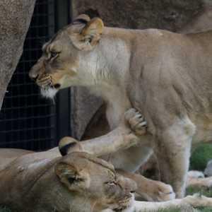 Empat Singa Di Kebun Binatang Barcelona Positif Covid-19, Diduga Tertular Dari Petugas
