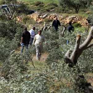Israel Cabut Ratusan Ribu Pohon Zaitun Selama Satu Dekade, Petani Palestina Rugi Miliaran Rupiah