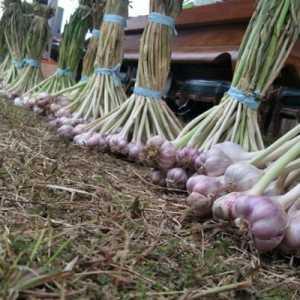 Hasil Panen Tak Bisa Terjual, Petani Kapok Tanam Bawang Putih