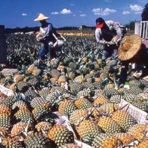 Nanas Taiwan, Ditolak China Diborong Jepang
