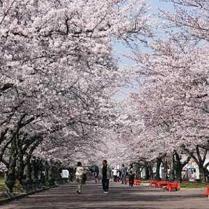 Tanda Perubahan Iklim, Bunga Sakura Di Jepang Mekar Lebih Cepat