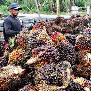 Pabrik Sawit Diduga 'Main Cincai', Pemerintah Didesak Evaluasi Penetapan Harga